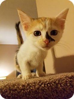 Domestic Longhair Kitten for adoption in Nashville, Tennessee - Lisa