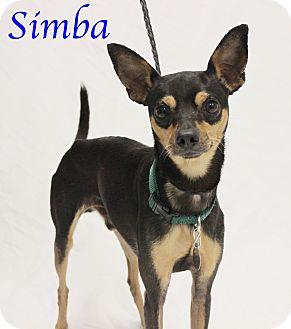 Chihuahua Mix Dog for adoption in Bradenton, Florida - Simba