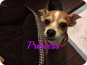 Chihuahua Mix Dog for adoption in Maitland, Florida - Princess