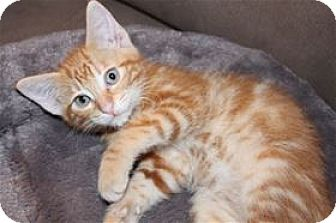 Domestic Shorthair Kitten for adoption in Rocklin, California - Buoy and Nipper