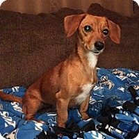 Dachshund Dog for adoption in Columbia, Tennessee - Ellie in MI