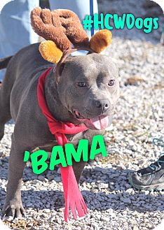 Russellville Ky English Bulldog American Pit Bull Terrier Mix Meet Bama A Dog For Adoption