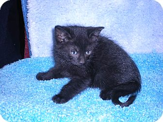 "Domestic Shorthair Kitten for adoption in New Castle, Pennsylvania - "" Licorice """