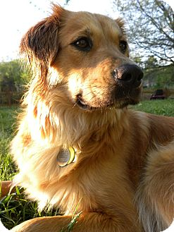 Golden Retriever Mix Dog for adoption in White River Junction, Vermont - Ellie