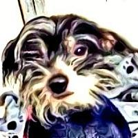 Adopt A Pet :: Petie-PA - Mays Landing, NJ