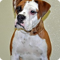 Adopt A Pet :: Bella - Port Washington, NY