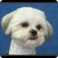 Adopt A Pet :: Teddy Bear - Ft. Bragg, CA
