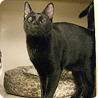 Oriental Cat for adoption in Jupiter, Florida - Ally