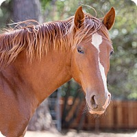 Adopt A Pet :: Lilly - El Dorado Hills, CA