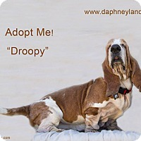 Adopt A Pet :: Droopy - Acton, CA