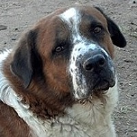 St. Bernard/Black Mouth Cur Mix Dog for adoption in Glendale, Arizona - MEMPHIS