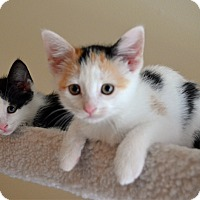 Adopt A Pet :: Rose - Port Republic, MD