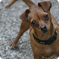 Adopt A Pet :: Munchie - Lawrenceville, GA