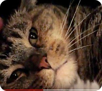 Domestic Shorthair Cat for adoption in Colmar, Pennsylvania - Tabitha