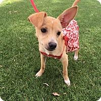 Adopt A Pet :: Wiggles - Santa Ana, CA