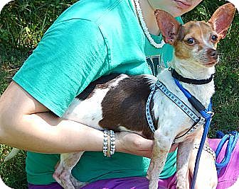 Chihuahua/Terrier (Unknown Type, Small) Mix Dog for adoption in Burlington, Vermont - Jasper (8 lb) Great Family Pet