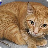 Domestic Shorthair Cat for adoption in Bradenton, Florida - Oscar