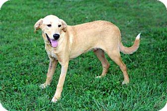 Labrador Retriever Mix Puppy for adoption in Norfolk, Virginia - PUPPY ADONIS