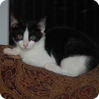Domestic Shorthair Kitten for adoption in Great Mills, Maryland - Joelle