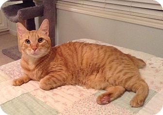 Domestic Shorthair Cat for adoption in Houston, Texas - Sam