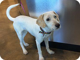 Labrador Retriever/Australian Shepherd Mix Puppy for adoption in New York, New York - Layla