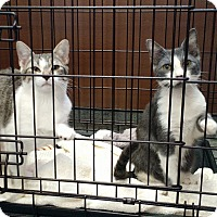 Adopt A Pet :: Lacey (Lucy Lu kitten 1) - Wakinsville, GA