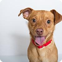 Adopt A Pet :: Linus - Mission Viejo, CA