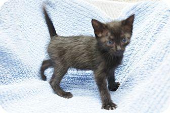 Domestic Mediumhair Cat for adoption in Houston, Texas - Pontchaitrain