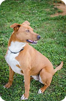 Carolina Dog/Basenji Mix Dog for adoption in Sherman, Connecticut - Phoebe