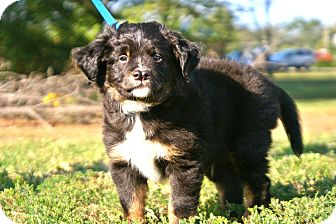 Australian Shepherd/Cavalier King Charles Spaniel Mix Puppy for adoption in Westport, Connecticut - *Walter - PENDING