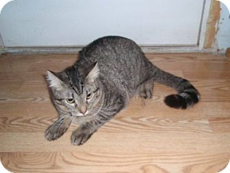 Domestic Shorthair Cat for adoption in Chicago, Illinois - Nicky