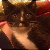 Adopt A Pet :: Stripey Doo - Davis, CA