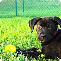 Adopt A Pet :: Koda - Lighthouse Point, FL