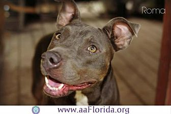Pit Bull Terrier Dog for adoption in Pensacola, Florida - Roma