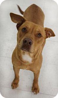 Labrador Retriever/Shar Pei Mix Dog for adoption in Yukon, Oklahoma - Caramel