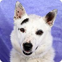 Adopt A Pet :: Orion Heeler Mix - St. Louis, MO