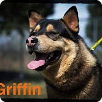 Adopt A Pet :: Griffin - Old Saybrook, CT
