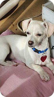 Dachshund/Chihuahua Mix Dog for adoption in Tomball, Texas - Sid