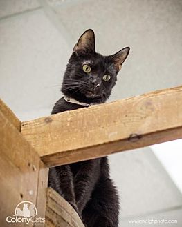 Domestic Shorthair Cat for adoption in Columbus, Ohio - Pinto
