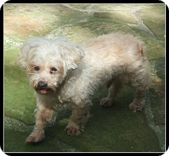 Maltese/Toy Poodle Mix Dog for adoption in Belcamp, Maryland - Martin (FL)