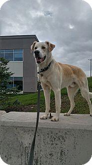 Labrador Retriever Mix Dog for adoption in High River, Alberta - Colin
