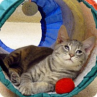 Domestic Shorthair Kitten for adoption in Naperville, Illinois - Albus
