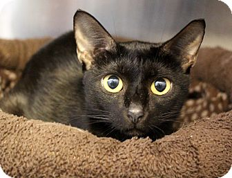 Domestic Shorthair Cat for adoption in Sarasota, Florida - Bella