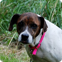 Boxer/Terrier (Unknown Type, Small) Mix Dog for adoption in Salem, West Virginia - Ariel
