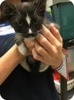 Domestic Shorthair Kitten for adoption in Columbus, Georgia - Mr.Tux 8365