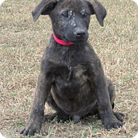 Mastiff/Labrador Retriever Mix Puppy for adoption in parissipany, New Jersey - BO
