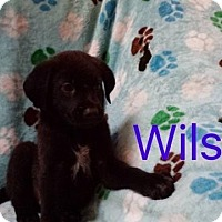 Shepherd (Unknown Type)/Labrador Retriever Mix Puppy for adoption in Hainesville, Illinois - Wilson