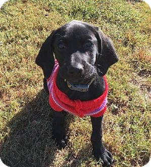 Labrador Retriever/Hound (Unknown Type) Mix Puppy for adoption in Nanuet, New York - Buford