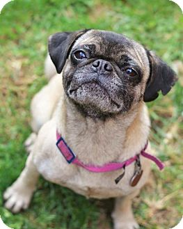 Pug Dog for adoption in Parker Ford, Pennsylvania - Gilly & Myrcella
