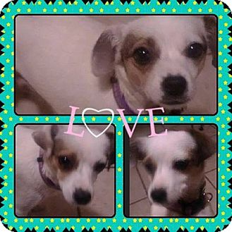 Terrier (Unknown Type, Small) Mix Dog for adoption in Lima, Pennsylvania - Minnie